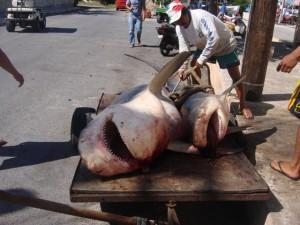 Se conflictúan turisteros y pescadores por pesca del tiburón toro