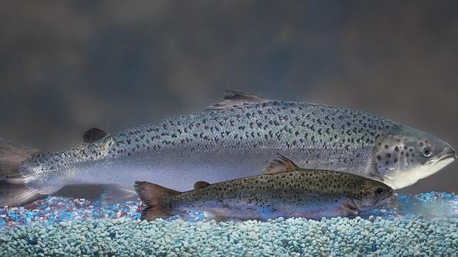 Lo nuevo: el salmón transgénico, a punto de recibir 'luz verde' para su comercialización tras 23 años de exámenes