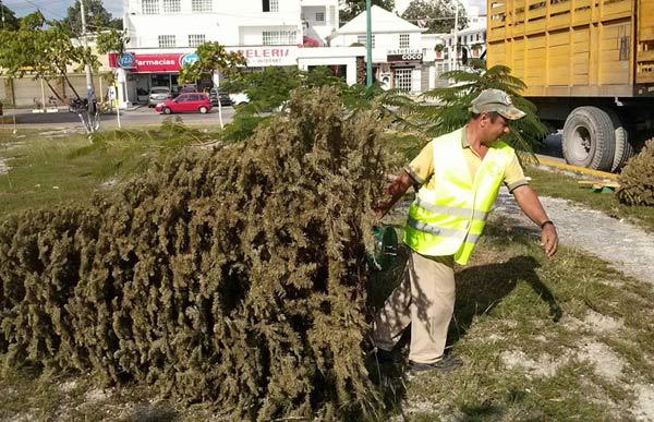 Recolectan más de 700 arbolitos de Navidad en centros de acopio de Cancún