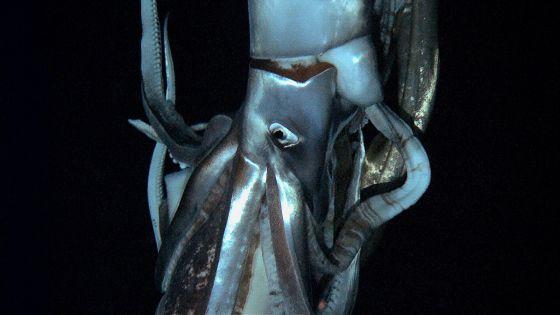 Filman por primera vez en el fondo del mar a un calamar gigante