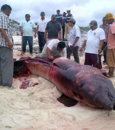 Recala ballena muerta en la zona oriental de la isla de Cozumel
