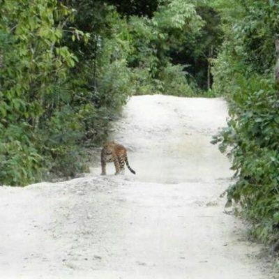 Fotografían a un jaguar en un camino de Chemuyil