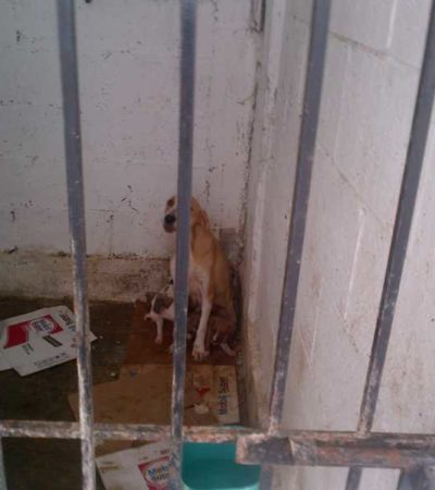 Destinan al sacrificio a cientos de perros en Chetumal