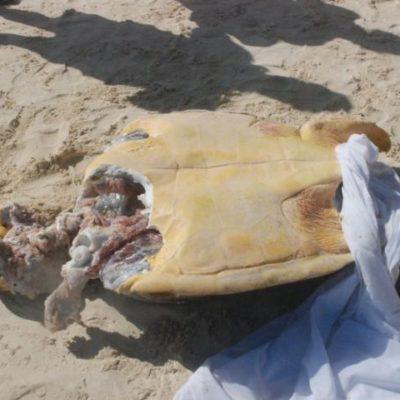 Recala otra tortuga marina en Playa Marlin