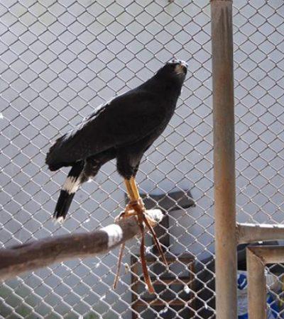 Reaparece el águila negra robada del zoológico de Chetumal