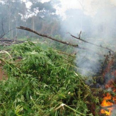 Destruye Ejército plantíos de marihuana en FCP y Bacalar