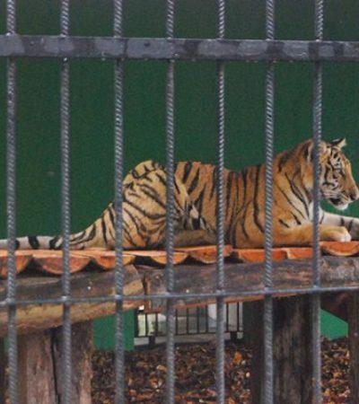 Donan cirqueros tigre de Bengala al Zoológico de Payo Obispo