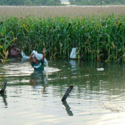 Confirman pérdida de 700 hectáreas de maíz en el sur de QR