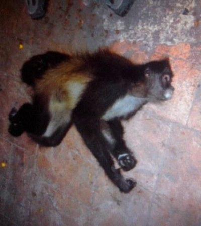 Muere electrocutado mono araña tras escapar del zoológico de Chetumal