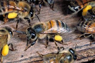 LO PICARON EN TODO EL CUERPO: Atacan abejas africanizadas a campesino en Bacalar y muere