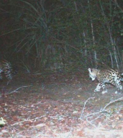 Buscan proteger a jaguares que merodean en la zona de Xcacel