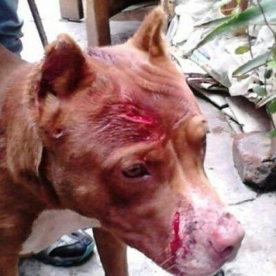 OTRO CASO DE MALTRATO ANIMAL: Hombre agrede a perro Pitbull a machetazos en la Región 95