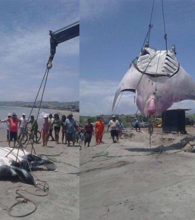 Capturan una mantarraya de 8 metros y más de una tonelada de peso