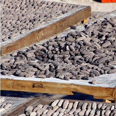 HISTÓRICO DECOMISO DE PEPINO DE MAR: Atajan en el aeropuerto de Cancún cargamento de 17 toneladas de la codiciada especie