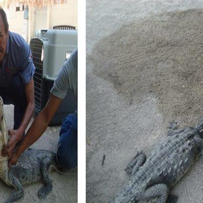 Rescata Profepa a cocodrilo de río sin su mandíbula inferior en isla Holbox