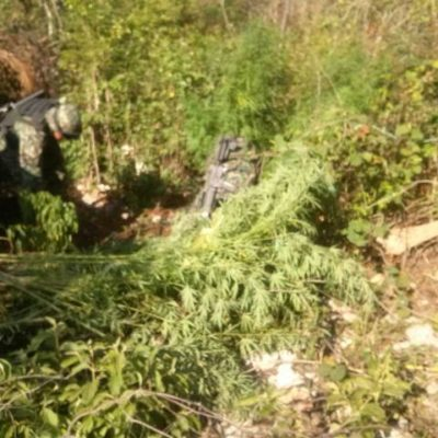 Hallan plantío de marihuana en poblado de la Zona Maya de Tulum
