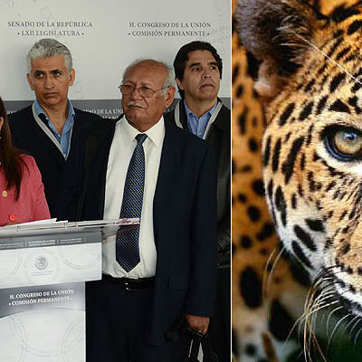 LLAMAN A EVITAR DESAPARICIÓN DEL JAGUAR: Desde el Congreso, impulsarán iniciativas para defender y preservar la especie amenazada