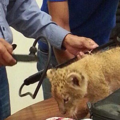 Asegura Profepa cachorro de león africano en operativo en Centro Artesanal Tulum