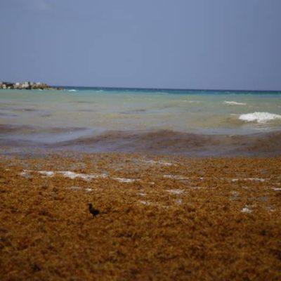 Autorizan retirar con maquinaria pesada el sargazo en playas de Quintana Roo