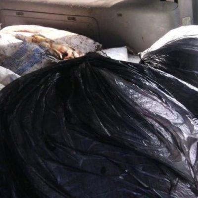 CAE TRAFICANTE DE ESPECIE EN VEDA: Interceptan en Bacalar camioneta con más de 500 kilos de caracol rosado