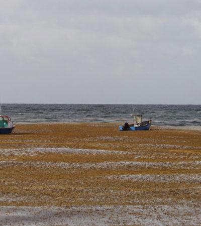 Provoca sargazo mortandad de langostas, matarrayas y otras especies en Bahía del Espíritu Santo