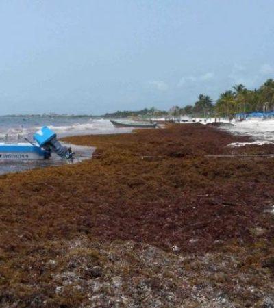 COSTAS SUCIAS DESDE MARZO: Se recrudece el problema del sargazo en las playas de Tulum