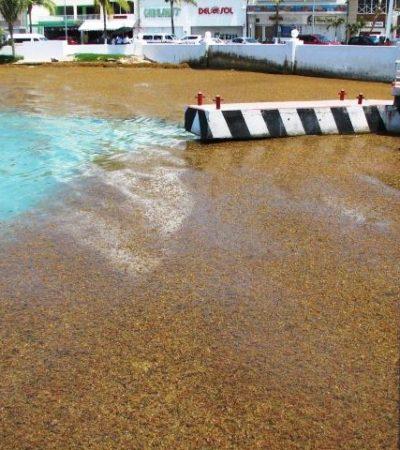 NUEVA OLEADA DE SARGAZO EN COZUMEL: Arribo de algas afecta atraque de embarcaciones y causa mala imagen
