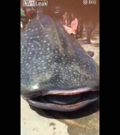 ABRE LA BOCA Y SE ESTREMECE: Indigna video de tiburón ballena destazado vivo por pescadores en China