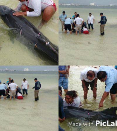 NO PUDIERON SALVARLO: Muere el delfín atacado por tiburones que recaló en playa de Cancún