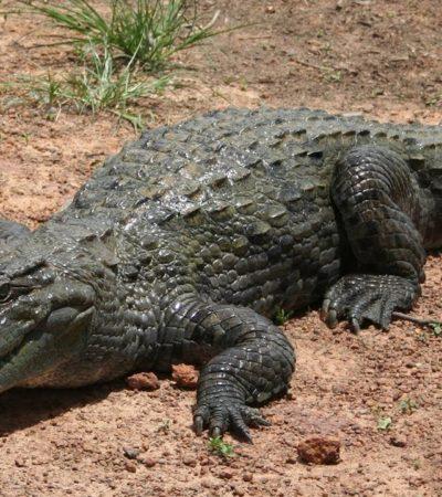 Busca Semar a un niño de 11 años arrastrado por un cocodrilo en zona de manglares de Michoacán