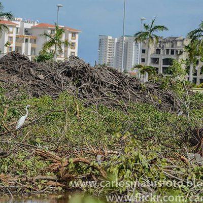 LA SILENCIOSA DEVASTACIÓN: En 40 años, la Zona Norte de Quintana Roo perdió 55% del manglar