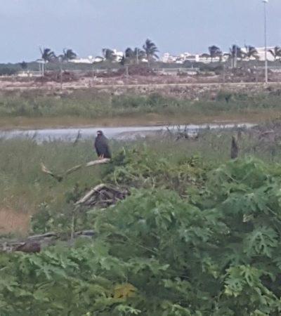 """DEFIENDE SEMARNAT PERMISOS EN MALECÓN TAJAMAR: """"En tiempo y forma"""", responderán a suspensión provisional para frenar relleno de manglar"""