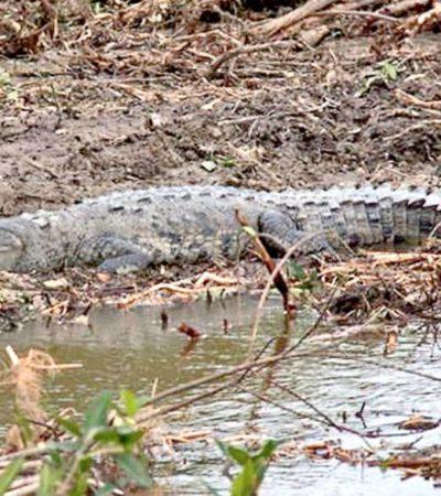 TENSIÓN EN MALECÓN TAJAMAR: Acusa Fonatur que activistas ambientales impidieron reubicación de fauna en zona de manglar devastada de Cancún