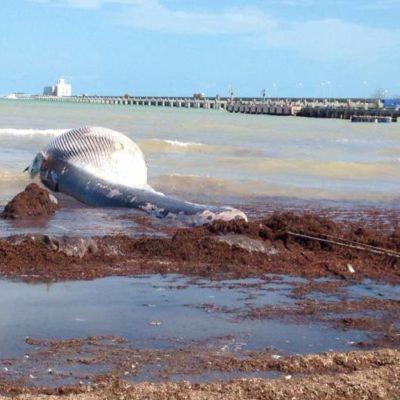 RECALA BALLENA EN PROGRESO:  El cetáceo de más de 5 metros es el primer varamiento en su tipo en esta región de la costa yucateca