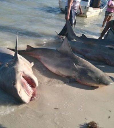 Capturan 15 tiburones pescadores de Isla Mujeres y Puerto Juárez