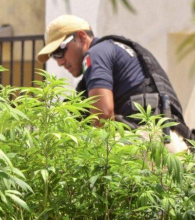Desmantelan invernadero de marihuana en un predio del fraccionamiento Francisco de Montejo de Mérida