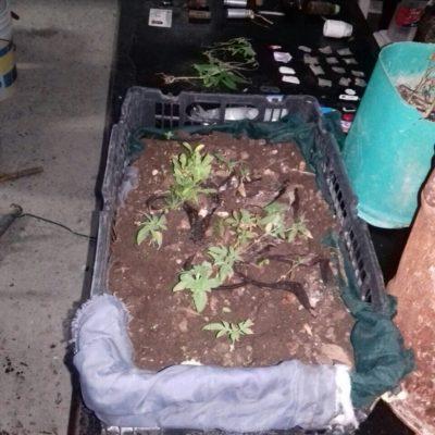 Hallan drogas, armas y hasta plantas de marihuana en la cárcel de Cancún