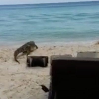 Causa sorpresa enorme cocodrilo que se paseaba por playa de Cozumel