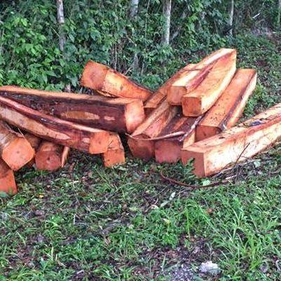 Asegura Profepa madera de caoba talada en la Reserva de la Biósfera de Calakmul