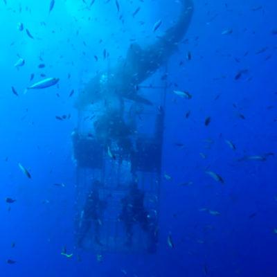 Difunden video de otro tiburón blanco que se atora en una jaula de protección de buzos en Isla Guadalupe