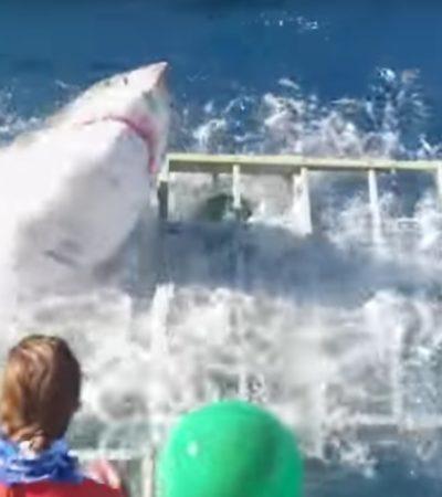 VIDEO | Enorme tiburón blanco rompe jaula de seguridad con un buzo adentro en la isla de Guadalupe