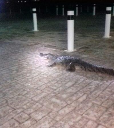 Sorprende caminata nocturna de un cocodrilo por el Malecón Tajamar