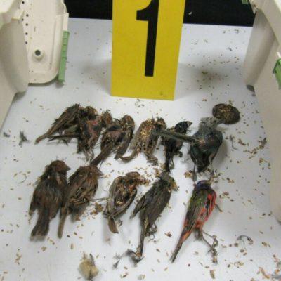 Capturan en aeropuerto de Cancún a español que pretendía traficar ilegalmente 168 aves ocultas con destino a Alemania