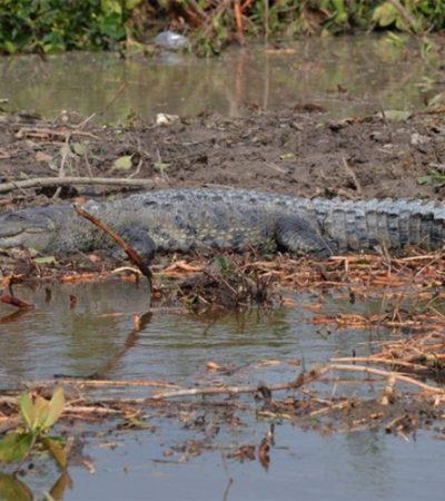 Reportan campesino devorado por enorme cocodrilo en un jagüey de Balancan en Tabasco