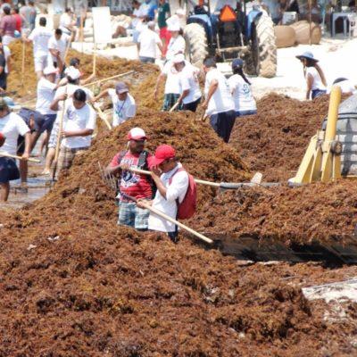 PEGA RECALE DE SARGAZO A LA RIVIERA MAYA: Grandes cantidades de algas llegan a playas de Solidaridad; inician limpieza urgente