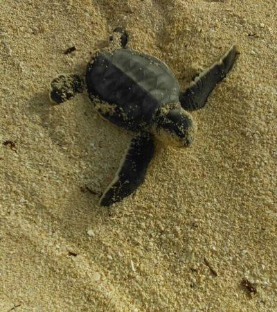 Cumple subcomité de inspección y vigilancia de tortugas marinas tareas de preservación de especies