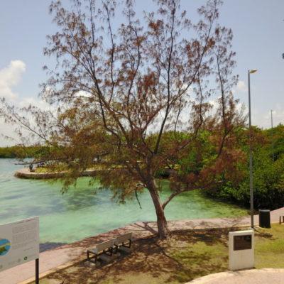 COMIENZA LA TALA DE LA CASUARINA: Limpiarán la Zona Hotelera de Cancún de especie invasiva | VIDEO