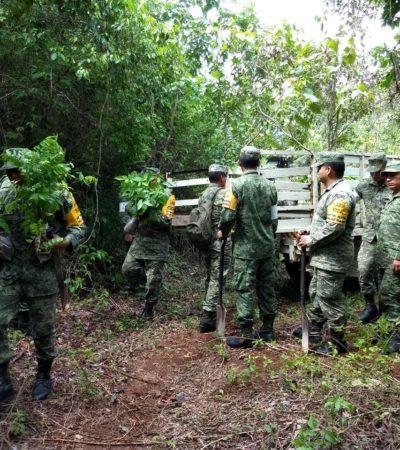 Reforestan Conafor y Sedena con 24 mil plantas en Quintana Roo