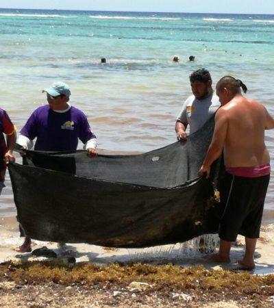 Continúa la limpieza de sargazo de las playas de Mahahual