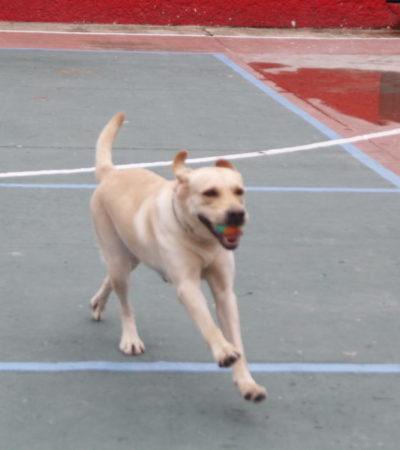 'LUNA' AÚN TIENE MUCHO PARA DAR: El duro trabajo de entrenamiento detrás de uno de los binomios de rescate canino de Cancún